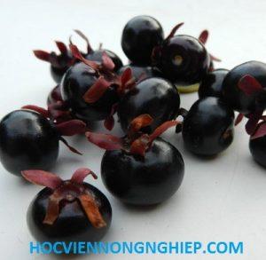 cherrybrazill1