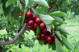 cherryad1