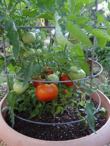 Mùa hè nên Trồng Cây Ăn Quả nào trong chậu để nhanh thu hoạch hơn